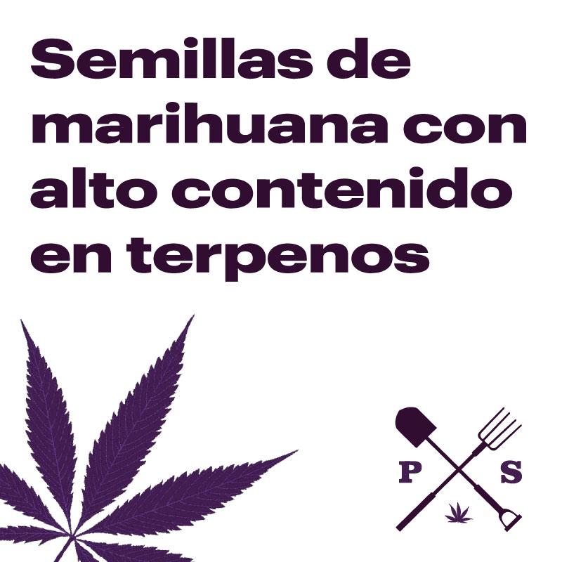 SEMILLAS DE MARIHUANA CON ALTO CONTENIDO EN TERPENOS